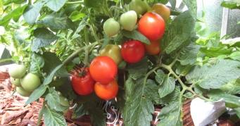 Märtsis jõuab veel tomateid külvata